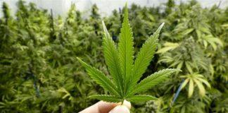 coltivare cannabis è reato