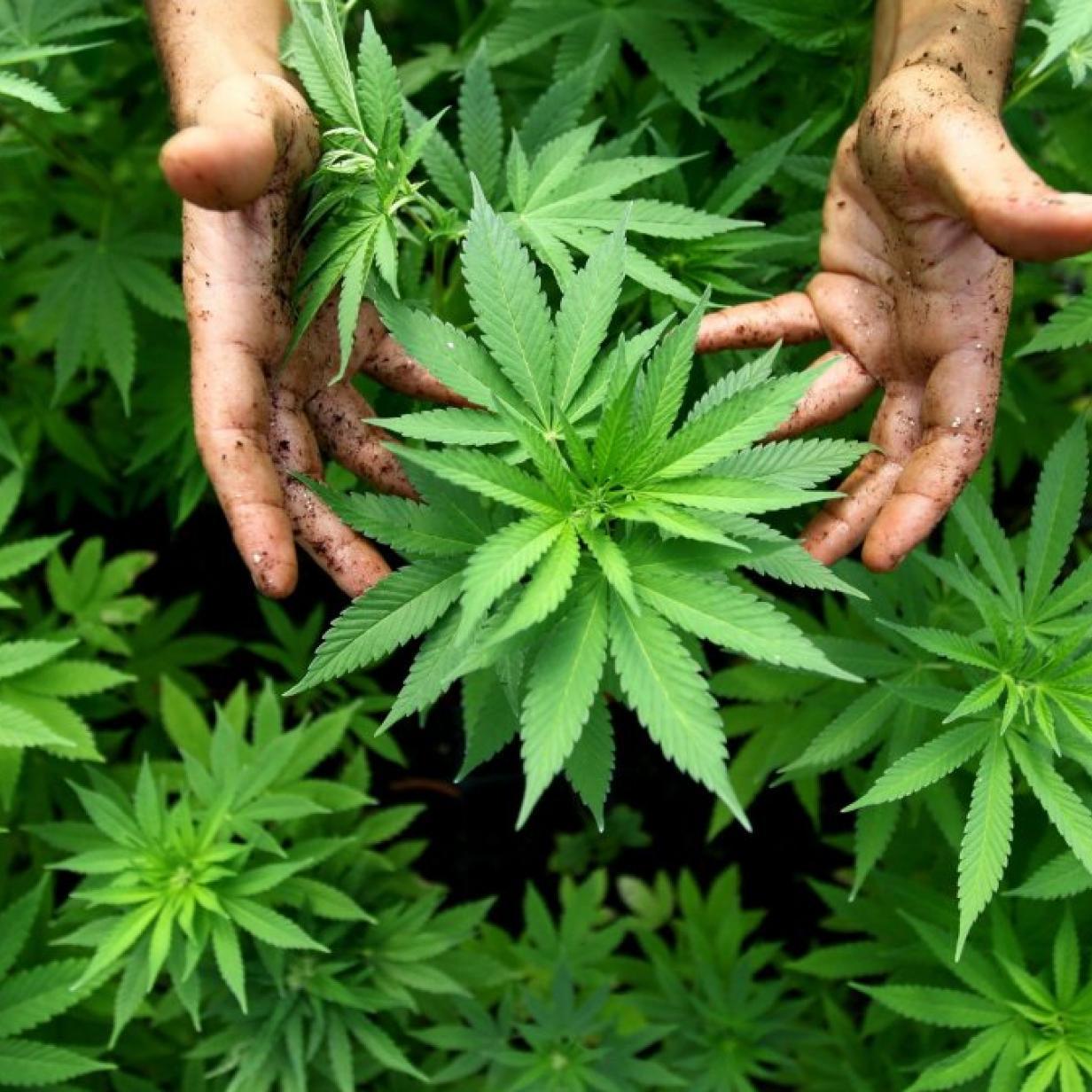 pianta cannabis investimento